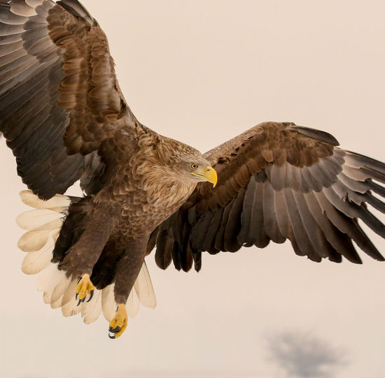 White tailed eagle wild nature flying bird of prey Flying Animal Themes Day Spread Wings Outdoors Living Organism Beauty In Nature Nature Animal Wildlife Animals In The Wild On The Move Bird Of Prey Bird Side View Adapted To The City