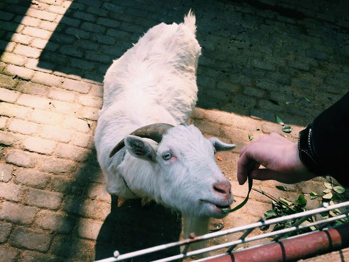 High angle view of hand holding sheep