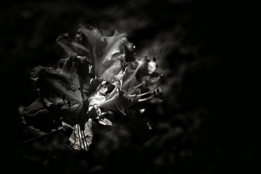 Capture The Moment Darkness And Light Flowers Uzuki Of The Flower Macro Beauty Notes From The Underground Focus On Foreground From My Point Of View Light And Shadow Getting Inspired Composition Fragility Still Life Nature Abstract Black Background Monochrome Photography Macro Macro Fantasy Black And White Monochrome APS-C Fine Art EyeEm Best Shots 16_05
