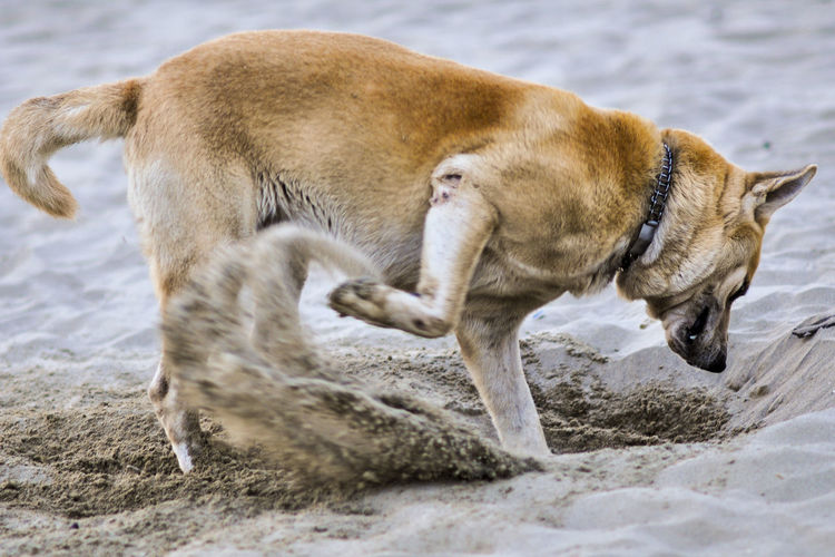 Side view of dog digging sand at beach