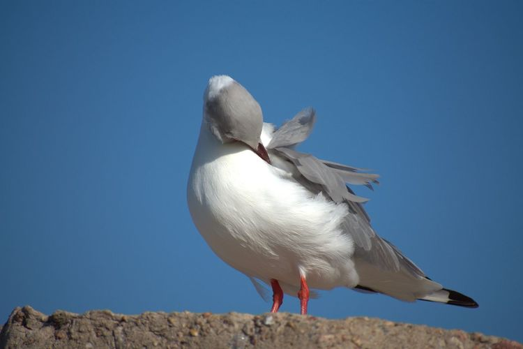 Red Billed Seagull Red Billed Seagull Bird Blue Full Length Sky Close-up Seagull Perching Wildlife Beak Sea Bird