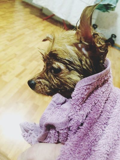 Close-Up Of Wet Dog Wrapped In Towel