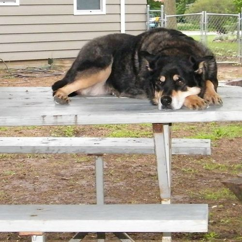 Bubba Rottweilermix Germanshepard Tb throwbackfriday outside summer on picnictable ohbubba love miss you rip
