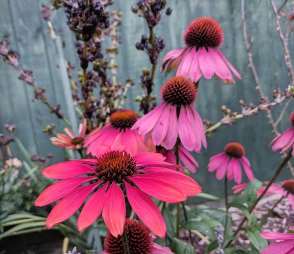 Flower Flower Head Beauty In Nature EyeEm Nature Lover English Countryside Garden Flower Summer Echinacea Freshness Alternative Medicine The Week On EyeEm Enchanting Nature Enchanted Flowers English Garden Cottage Garden