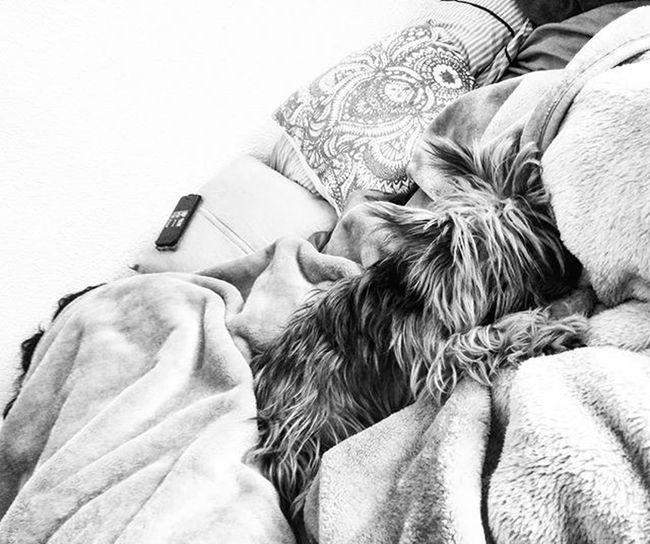 Comfy Yorkie (and wife) Siesta Dogsofinstagram Yorkshireterrier Yorkiesofinstagram Yorkies Dogs Dogsofinsta Blackandwhitephotography Blackandwhite Bnw Bnw_maniac Bnwlovers Monochrome Bnw_lover Bnw_lovers Mono