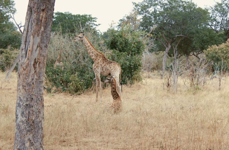 Side view of giraffe in forest