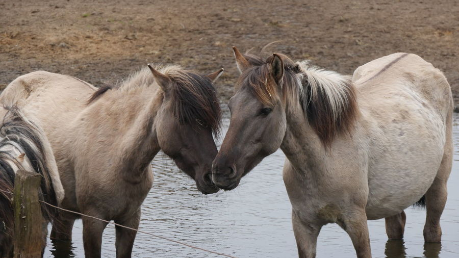 Animal Themes Day Horses Nature No People Outdoors Standing Togetherness Water Wildhorses Horses In Water Standing Together