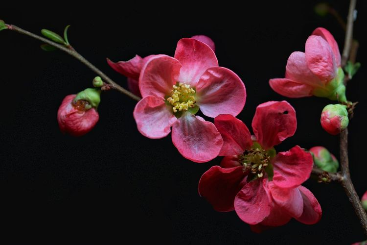 pink Flower Head Flower Black Background Red Fruit Studio Shot Space Branch Closing Close-up Flowering Plant In Bloom Blossom Plant Life Blooming Petal Pollen