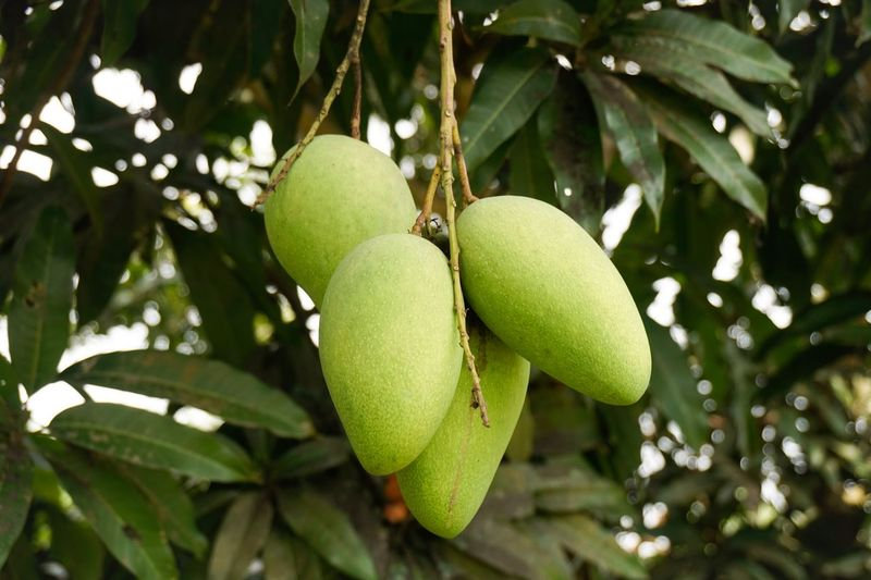 There are mangoes Asia Fruit Thailand Mangoes Mango Fruit Healthy Eating Food Food And Drink Green Color Growth Tree Plant Freshness Leaf Focus On Foreground Nature Plant Part Branch Wellbeing Close-up