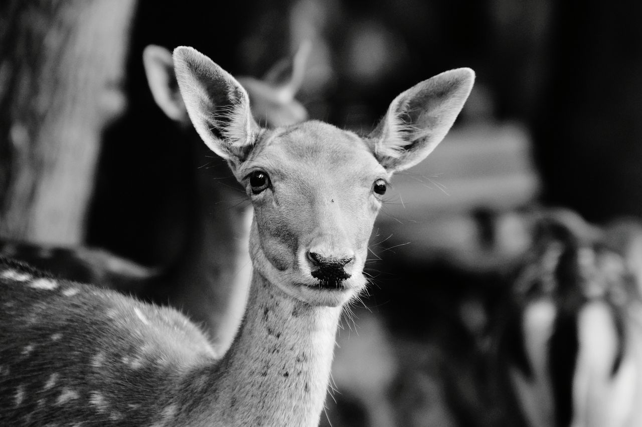 animal, animal themes, mammal, vertebrate, focus on foreground, one animal, animal wildlife, animals in the wild, portrait, close-up, domestic animals, looking at camera, deer, day, no people, herbivorous, animal body part, nature, animal head