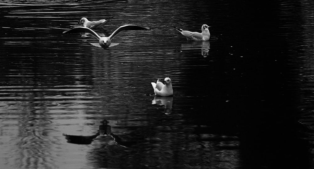 Animal Themes Animal Wildlife Animals In The Wild Bird Day Flight Lake Nature No People Outdoors Seagull SEAGULL IN FLIGHT Togetherness Water Water Bird