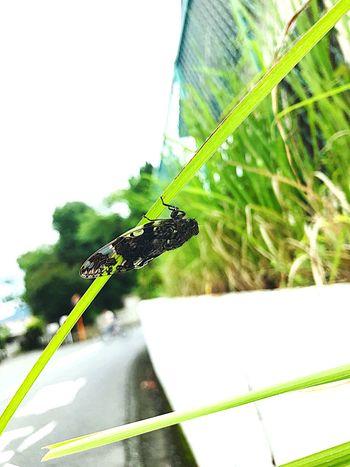 雨上がり Insect Nature Day Green Color Cicada Low Angle View ニイニイゼミ IPhoneography 蝉 Summer 夏