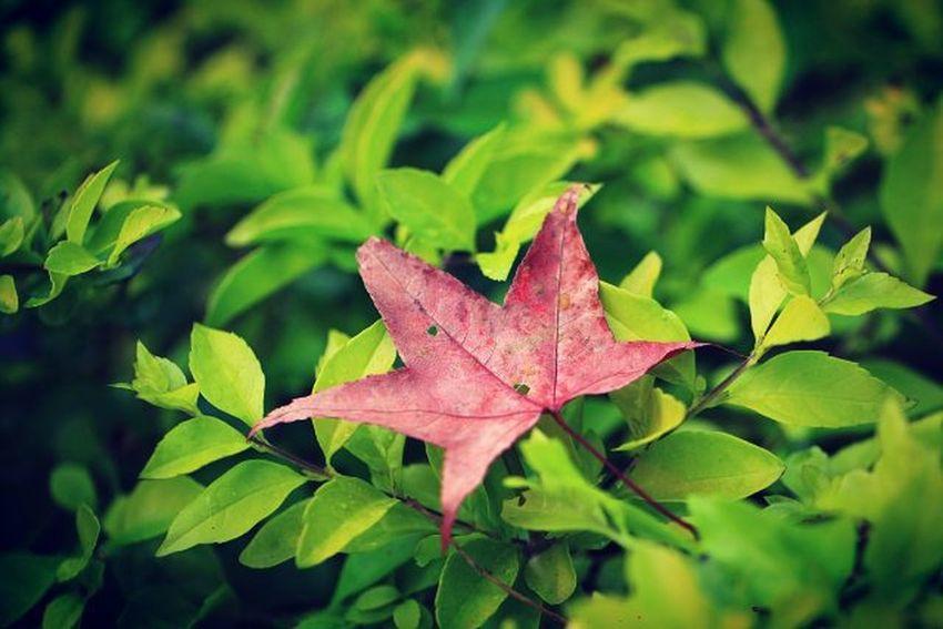 🍁為你楓狂 🌿🌿🌿🌿 🌿🌿🍁🌿 🌿🌿🌿🌿 追楓 落葉 楓葉 楓紅 脈 變態 帶著鏡頭趴趴照 隨拍 紅葉 綠葉 對比 https://www.facebook.com/masalu1798