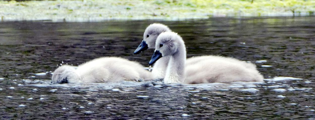 """I dont care what you say Sis I am not putting my head under the water!"" Young Bird Cute Two Cygnets Young Swans Bird Young Animal Animals In The Wild Swimming White Color Water Lake Day No People Togetherness Close-up Simple Quiet Love Soft Beauty Beauty In Nature For The Love Of Photography Feathers, Soft, Contrast, Light, Delicate, Fragile, Light And Dark EyeEm Nature Lover Exceptional Nature Beak Goodnight EyeEm Water Lake"