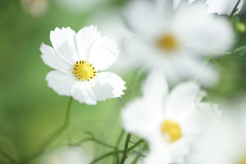 Pure heart Masako201809 Nofilternoedit Micronikkor105mmf2.8 White Flower Pure Heart Cosmos Flower Flower Flowering Plant Freshness Plant Fragility Beauty In Nature Vulnerability