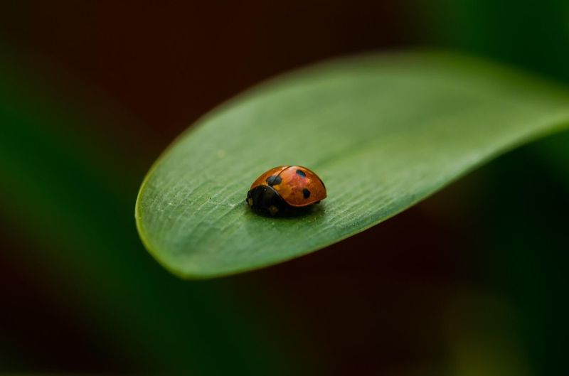 Animal Wildlife Animal Themes Invertebrate One Animal Animal Animals In The Wild Insect Close-up Ladybug No People Plant Part Leaf Focus On Foreground Green Color Nature Outdoors