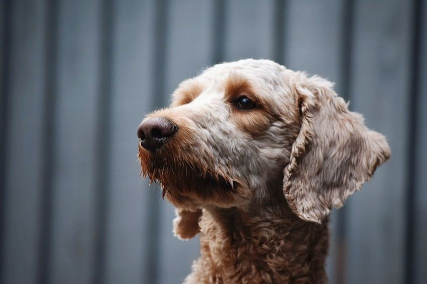 Dog One Animal Looking Away Animal Themes Domestic Animals Close-up Pet Goldendoodle