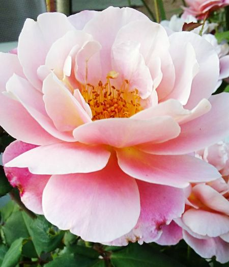 Rose🌹 Flower Pretty Pink Flower Pink Nature Yellow Blooming