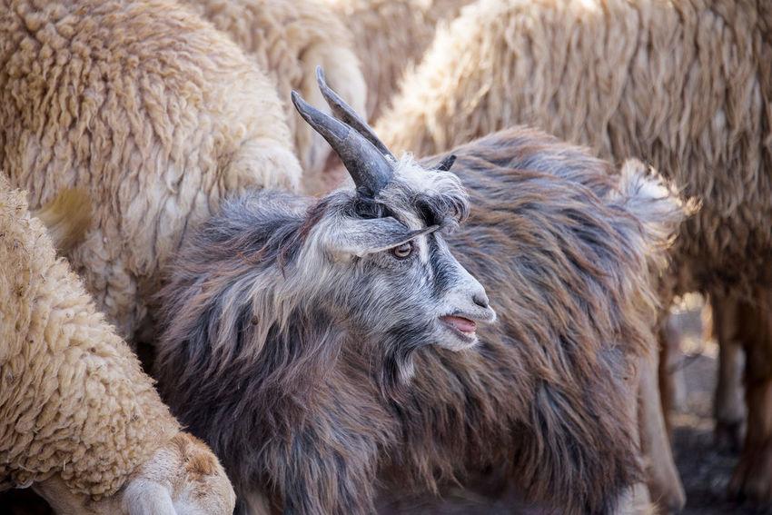Azerbaijan goats Azerbaijan FUNNY ANIMALS Goats Travel Argriculture Azerbaijan Goats Azerbaijan Sheeps Azerbaycan Cute Goat Cute Goats Cute Sheep Funny Anımals Mammal Mammals Sheeps Tourism Destination Tourist Destination