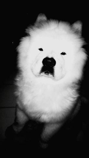 my dog. chow chow