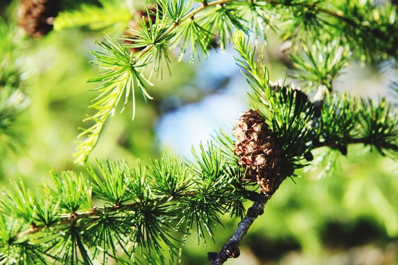 Larch. Nature Nature_collection EyeEm Nature Lover Streamzoofamily
