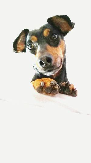 Joy Dog Dogslife Family Rescuedog Dachshund Teckel Spanish Dog Love♡ Rescue Dog Happy Peekaboo Peek A Boo Good Morning Mutt Mutts Are The Best Rescuedogsarebest