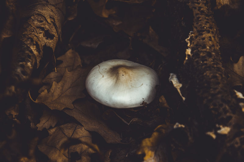Close-Up Of Mushrooms Amidst Dry Leaves