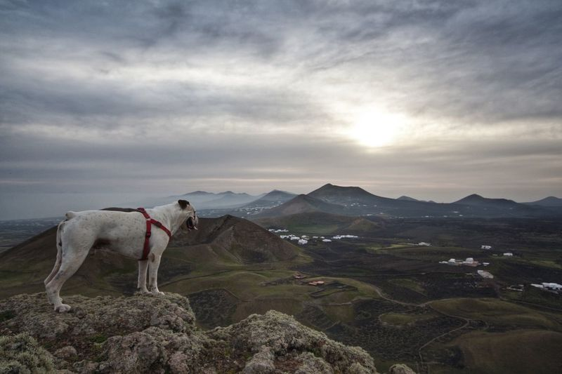 Coco enjoying the volcanic views Landscape_Collection Dogs Whiteboxer Lanzarote Dramatic Angles