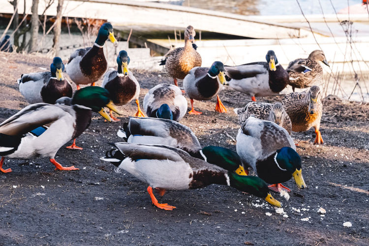 High angle view of ducks fighting for scraps