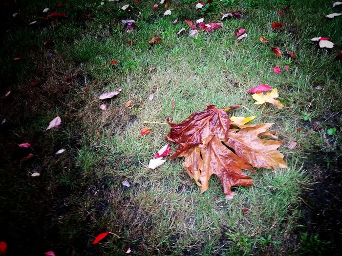 Fall Is Falling! Autumn Leaf Change Dry High Angle View Nature Day Fallen Grass Outdoors No People Maple Leaf Beauty In Nature Fragility EyeEm Nature Lover EyeEmNewHere Beauty In Nature Nature Maple Close-up Second Acts