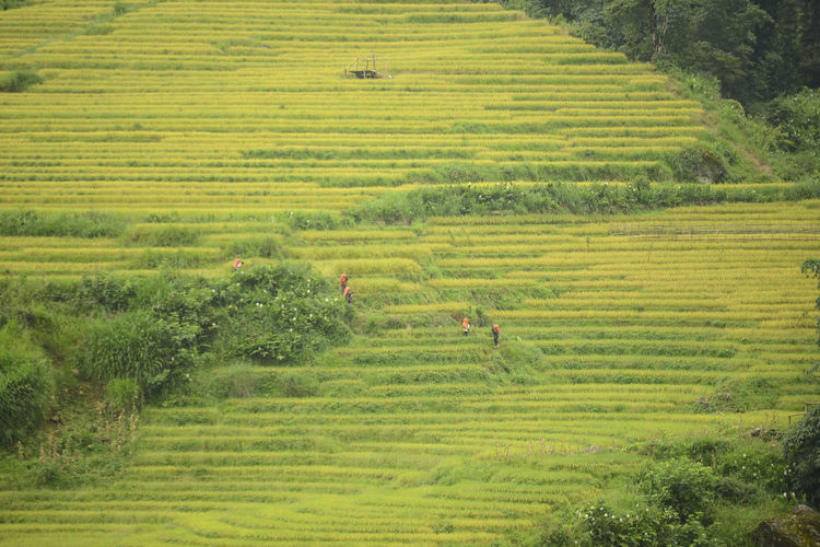 Landscape of rice terrace in Mu Chang Chai, Vietnam. Rice Terraces Paddy Fields Mu Cang Chai-Yen Bai-Vietnam Tree Plant Landscape Tranquil Scene Scenics - Nature Environment Land Field Beauty In Nature Nature Rural Scene Growth No People Agriculture Outdoors Farm Rice - Cereal Plant Rice Paddy Crop  Terraced Field Rice Terrace Gardening