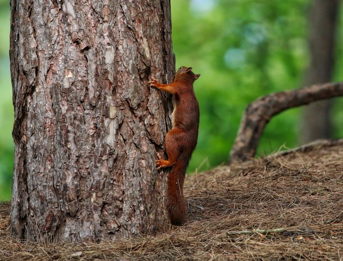 Red squirrel climbing on tree trunk