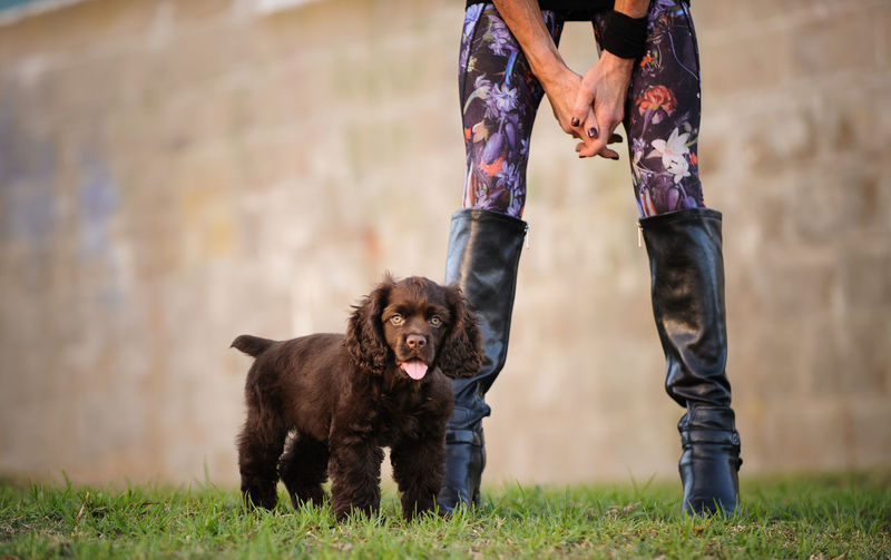 Brown Cocker Spaniel puppy dog outdoor portrait Baby Boots Cocker Spaniel  Fashion Woman Day Dog Domestic Animals Grass Legs Low Section Mammal Mom One Animal Outdoors Outside Owner People Pets Photography Puppy Real People Spaniel