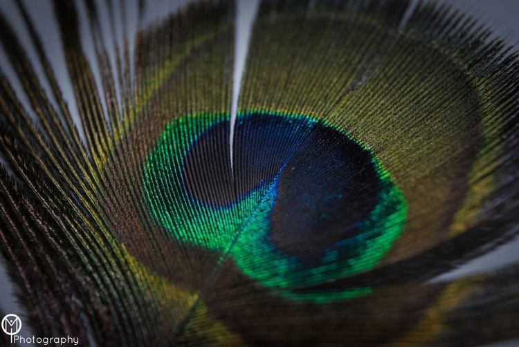 Animal Markings Animal Themes Animal Wildlife Animals In The Wild Backgrounds Beauty Beauty In Nature Bird Blue Close-up Fanned Out Feather  Fragility Full Frame Green Color Lightweight Macro Multi Colored Nature No People One Animal Peacock Peacock Feather Softness Tail