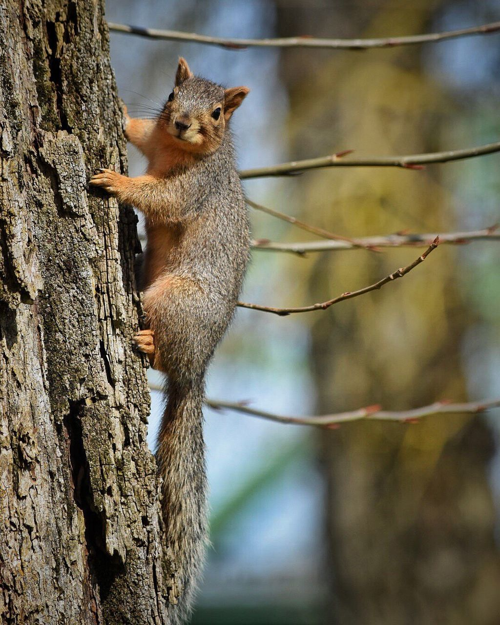one animal, tree, animals in the wild, tree trunk, mammal, animal wildlife, squirrel, animal themes, outdoors, no people, focus on foreground, day, nature, climbing, branch, close-up