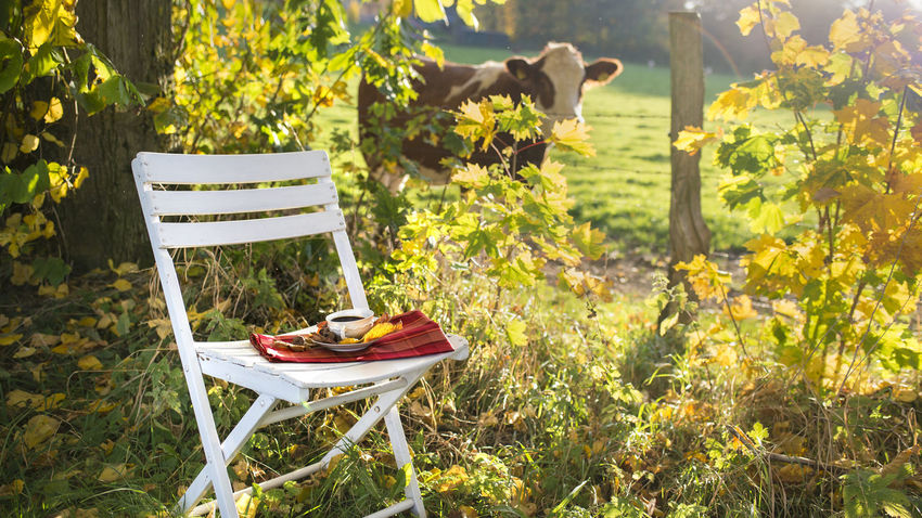 Wonderful autumn scenery with cow - chair waits with cup of coffee Autumn Backlight Chair Orange Red Smoke Wonderful Animal Autumn Scenery Break Chair Concept Cow Cup Of Coffee Cuttle Dreamlike Folding Chair Foliage Hot Drink Lens Flares Meadow Nature Old Dishes Outdoors Short Depth Of Field