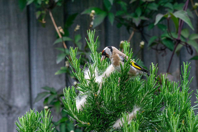 Animal behavior as a goldfinch (carduelis carduelis) wild bird collects ginger cat fur from rosemary bush for nest building American Animal Bird Birdhouse Birdnest Birdwatching Branch Brood Carduelis Carduelis Cat Chicks Comfortable Domestic European Goldfinch Family Fauna Feather  Fledgling Fluffy Fur Garden Ginger Gold Gold Finch Goldfinch Hair Incubate Incubation Kitty Mammal Natural Nature Nest Nesting Ground Nestling Nurture  Ornithology  Outdoors Parent Passerine Rabbit Rosemary Sitting Songbird  Tabby Urban Wild Wildlife Yellow Bird Zoology