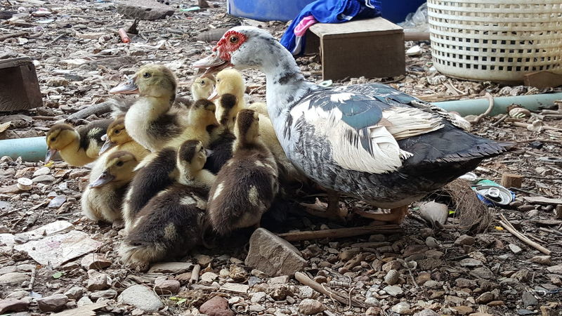 Mother hen with her babies Kampung Life