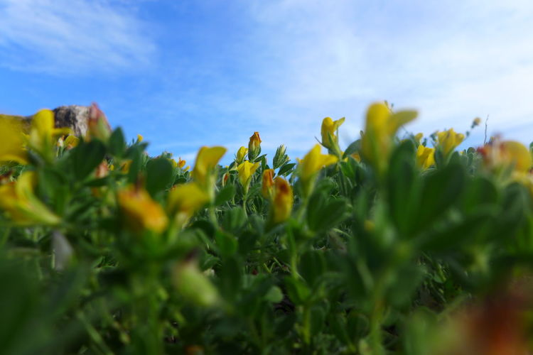Beach Plants Cat's Eye Vie Cat's View Close-up Flower Freshness Green Green Color Ground And Sky Growth Low Viewpoint Plant Sea Plant Seaside Selective Focus Sky Yellow Yellow And Green Yellowandgreen