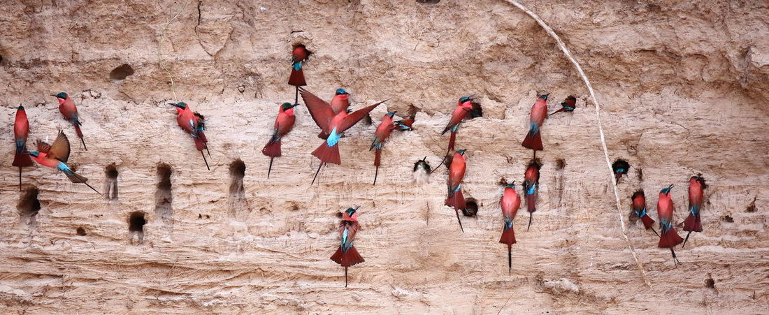 Agitation Breeding Carmine In Motion National Park Zambia Active Activity Adventure Africa Bee Eater Breeding Birds Bus Carmine Bee Eater Challenge Effort Incubating Incubation National Parks Zambia Rare Rock - Object Sand Bank Season  South Luangwa