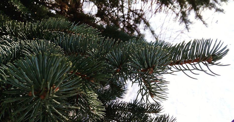 ёлка дерево хвоя ввц зима красота Природа Иголки
