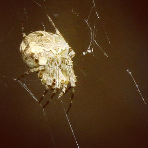 Genduuutt... Spider Spiderworld Ig_spiders Ig_spider tgif_macro instagaruda_macro macrophotography