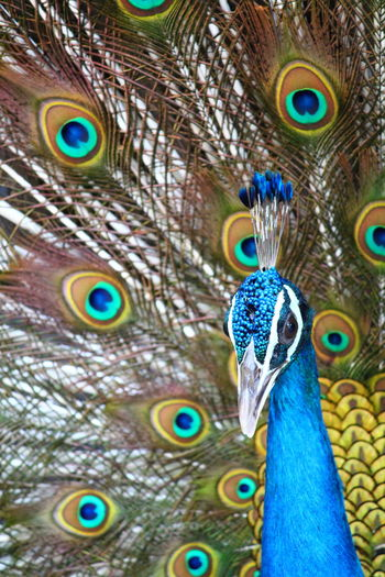 Peacock Feather Bird Peacock Fanned Out Vanity Multi Colored Beauty Beak Spread Wings Feather
