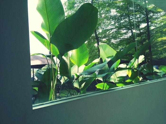 Over the window No People Green Color Leaf Nature Plant Growth Indoors  Day Ivy Close-up Beauty In Nature Tree