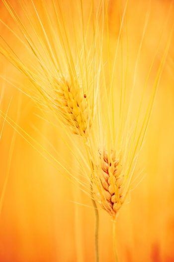 The OO Mission Ripen Rice Field Golden Light Naturemirror