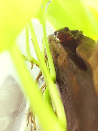 Terrarium アカハライモリ 両生類 Newt Amphibians Japanese Fire Belly Newt Growth Plant