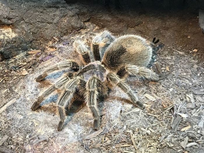 Tarantula Animal Themes Animals In The Wild Close-up Day High Angle View Nature No People One Animal Outdoors