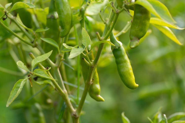 Close-up of green chili peppers plant
