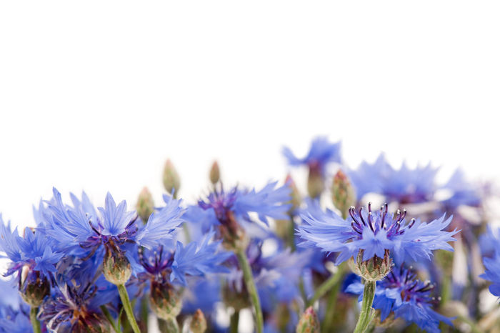 Bunch of blue cornflower flowerheads isolated on white background. Bachelor's Buttons Bachelors Bachelors Button Beauty In Nature Blooming Blue BlueBottle Bouquet Boutonniere Flower Bunch Close-up Cornflower Cornflowers Cut Cyani Flower Cyanus Flower Flowers Hurtsickle Nature No People Plant Weed