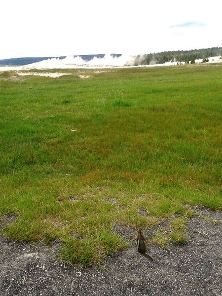 Lil Squirrel buddy waiting for Old Faithful to blow!! Yellowstone National Park Old Faithful Geyser Grass Day No People Squirrel Beauty In Nature Animals In The Wild Landscape Outdoors Green Color Steam Waiting For The Show Super Volcano Vacation Destination